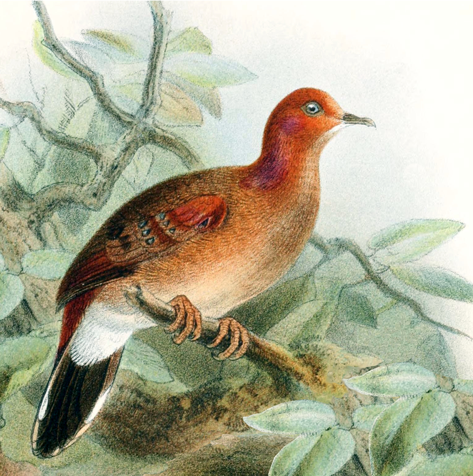 Blue-eyed ground dove
