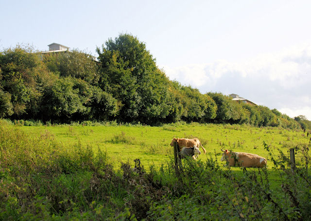 Cattle Grazing, Winnall - geograph.org.uk - 1021220