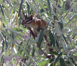 The average litter size of a Colorado chipmunk is 4