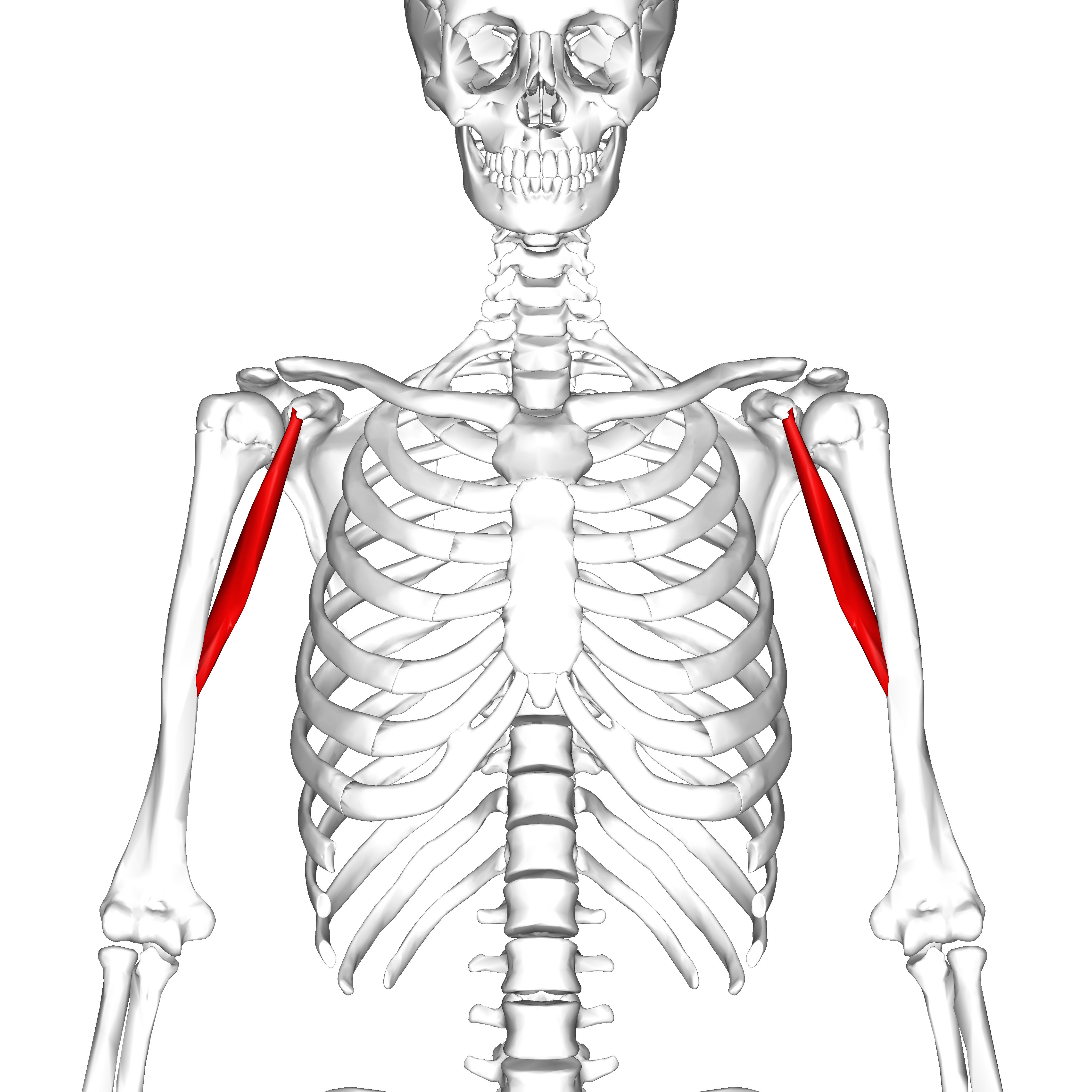 File:Coracobrachialis muscle05.png - Wikimedia Commons
