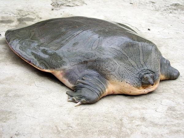 Indian narrow headed softshell turtle wikipedia for Tartarughe razze