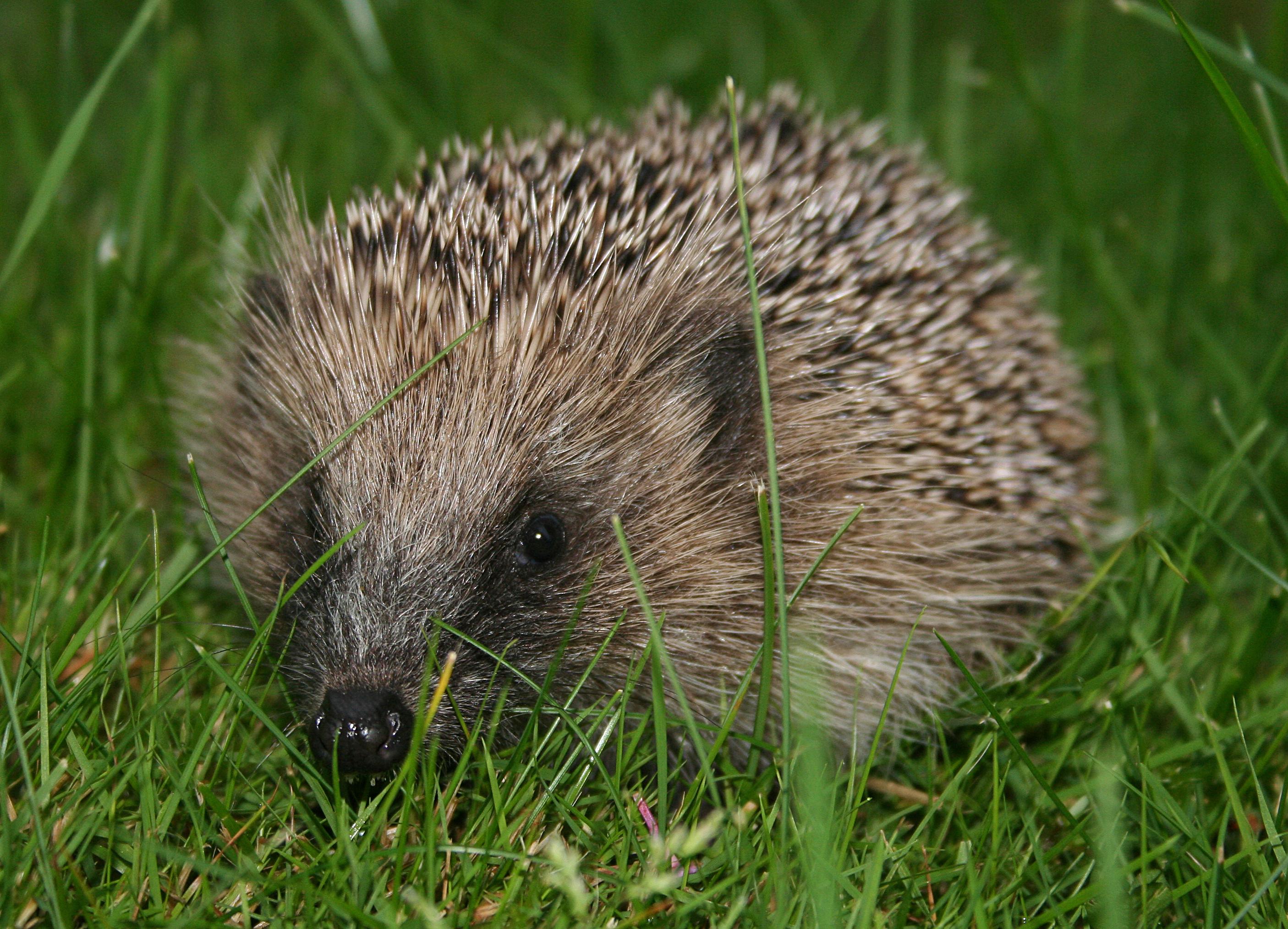 File:European hedgehog (Erinaceus europaeus).jpg - Wikipedia, the free ...