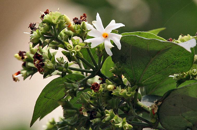 Flower & flower buds I IMG 2258