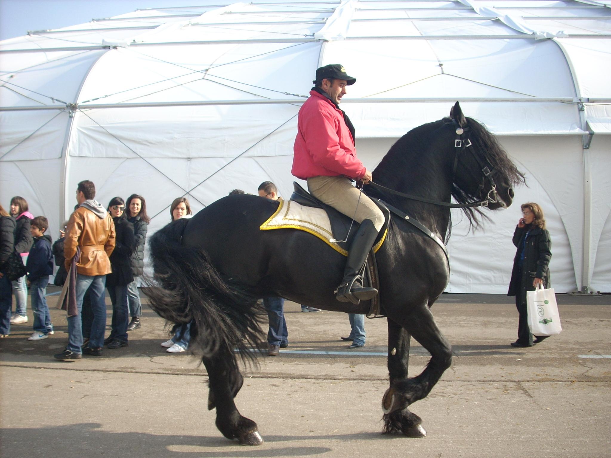 Friesian horse piaffe.jpg