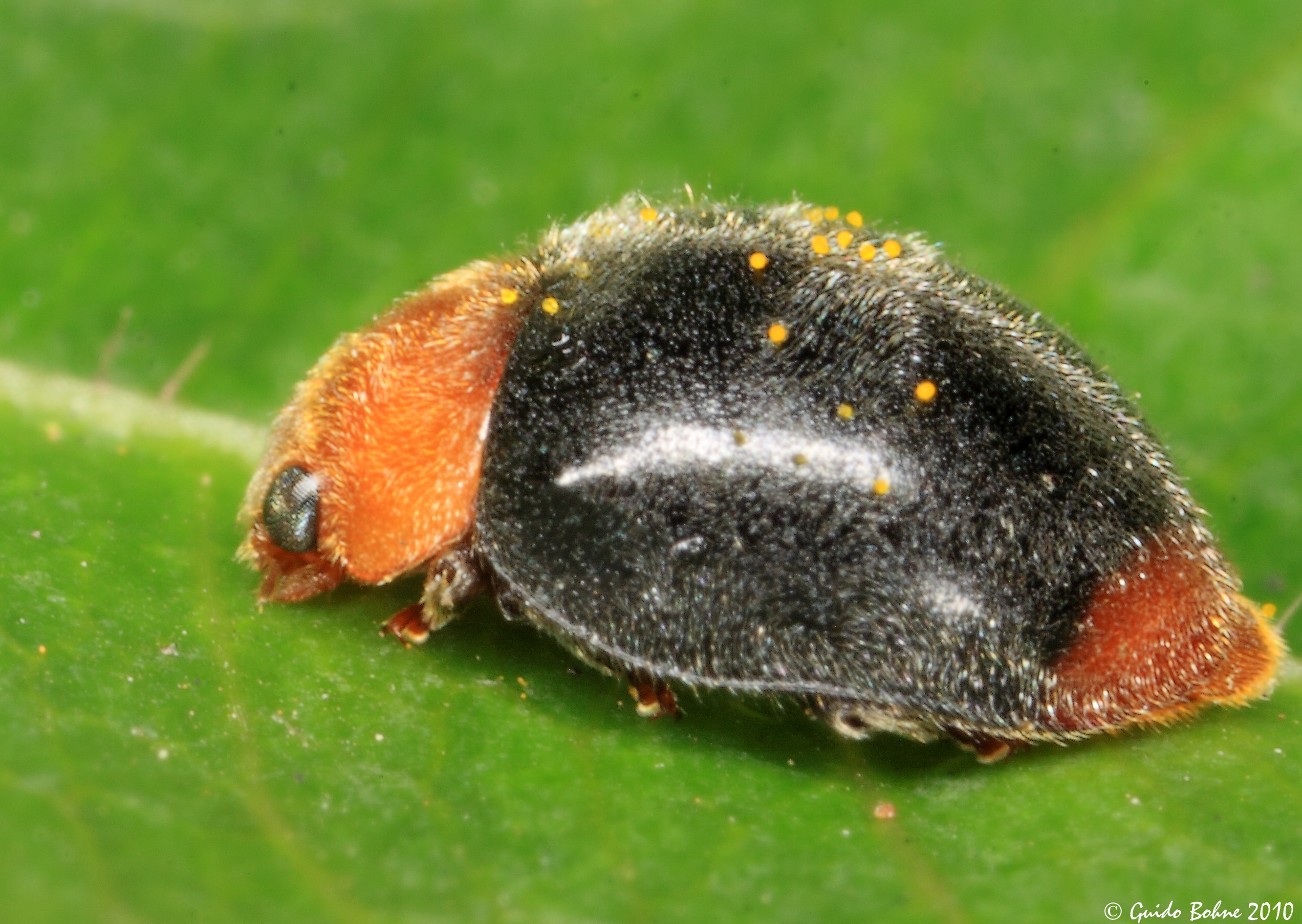 File:Furry Lady beetle from W-Java - lateral view (5225545738).jpg ...
