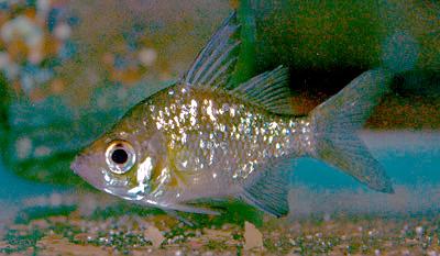 S Glass Fish