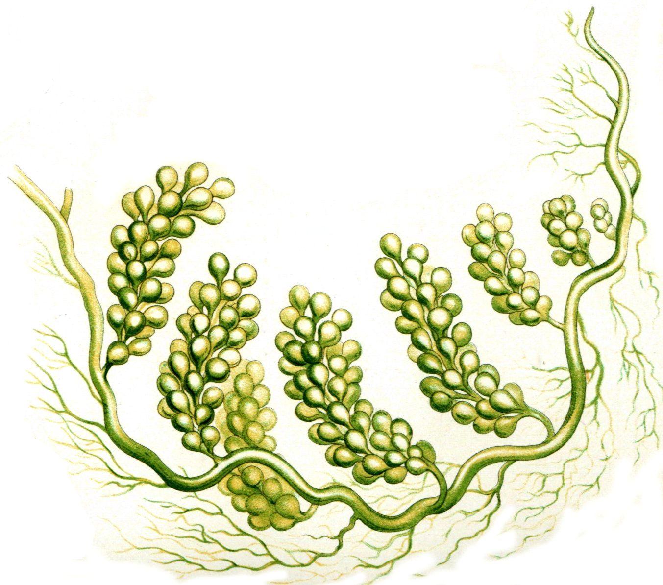 algues Caulerpa Racemosa