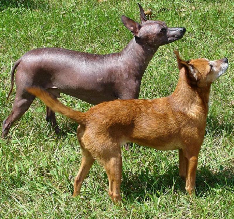 Xoloitzcuintli ~ Everything Best Dogs White Parson Russell Terrier
