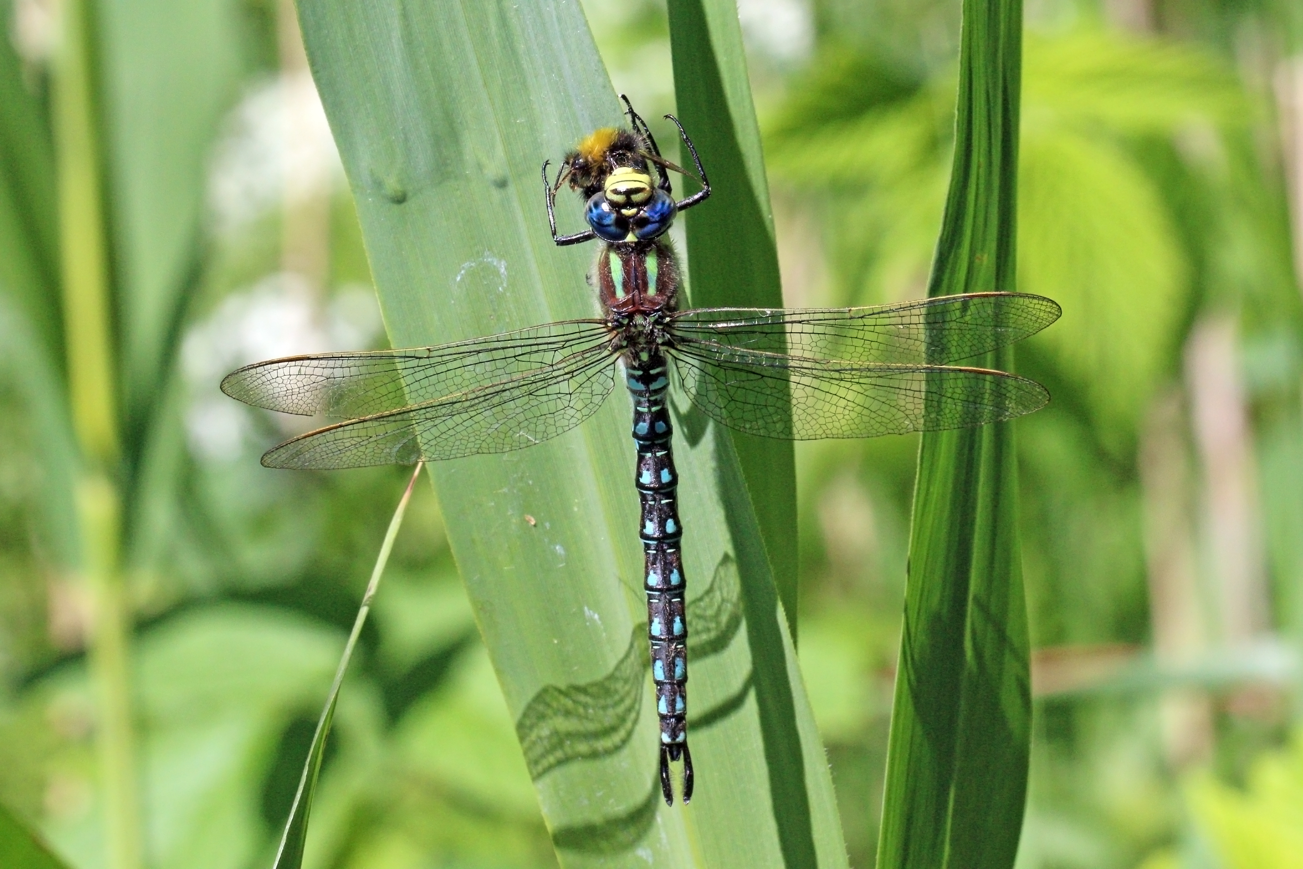Hairy Dragonfly Wikipedia