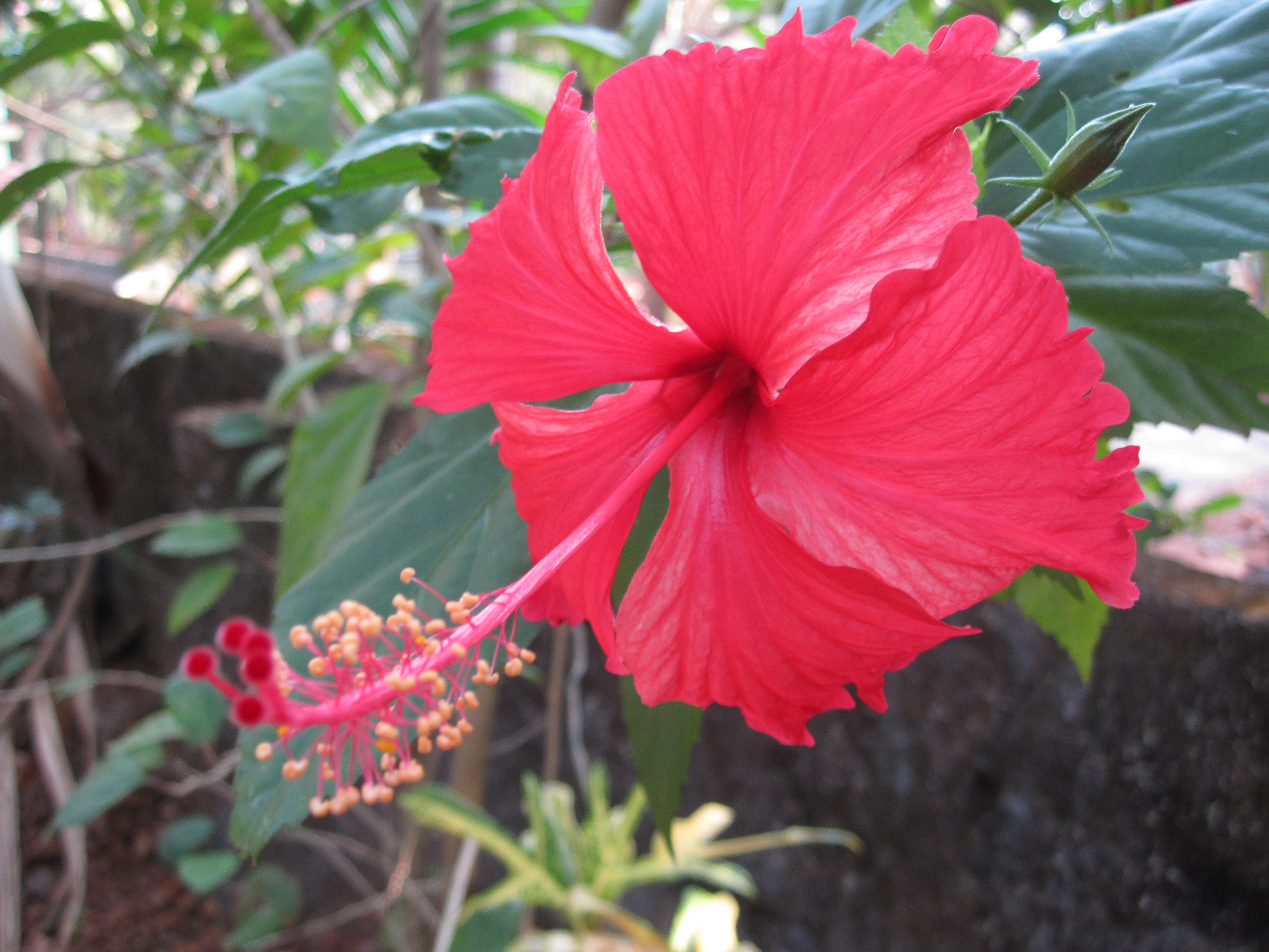 Hibiscus: Plant Care and Collection of Varieties - Garden.org