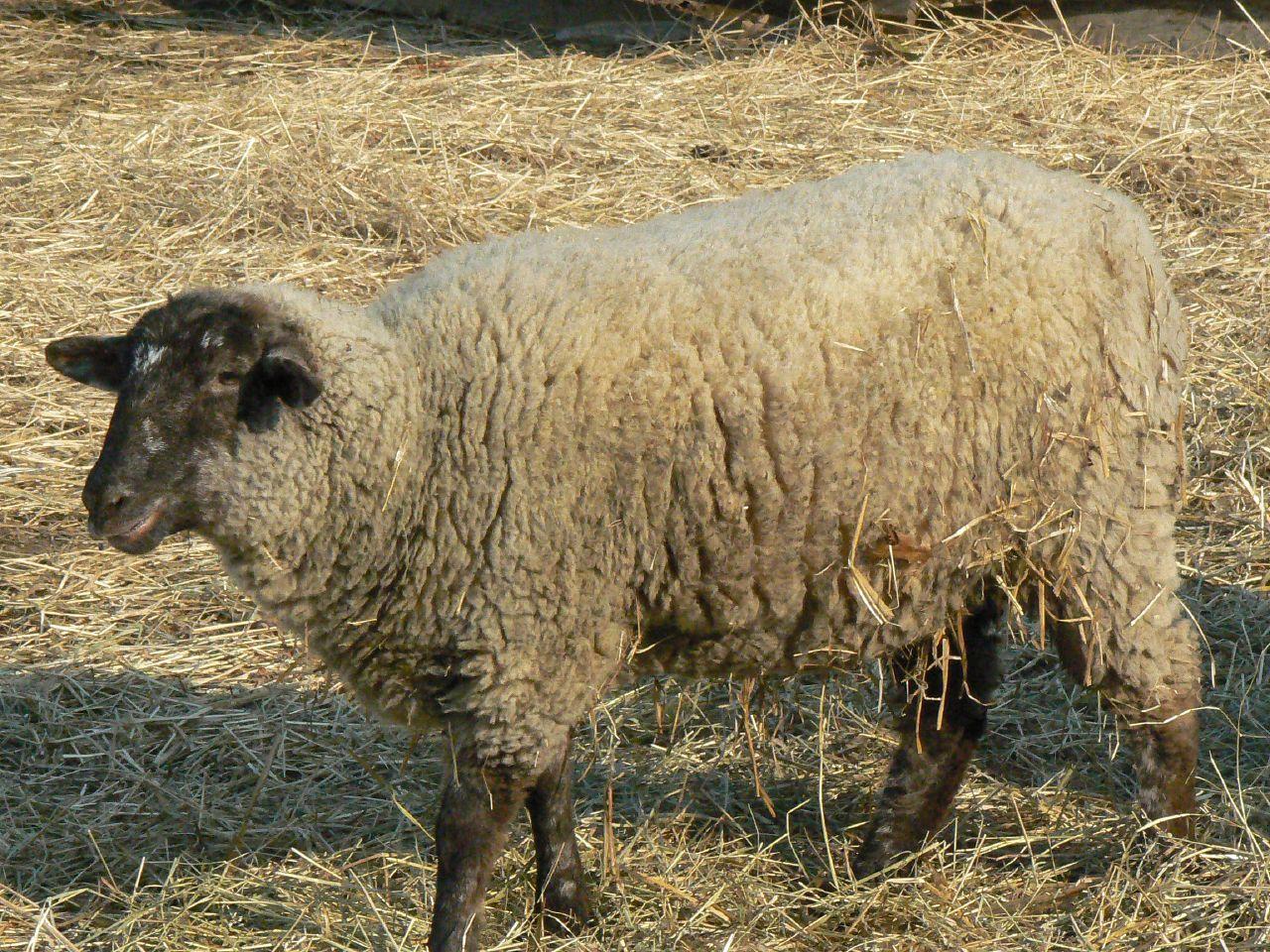 file hog island sheep at mt vernon jpg wikimedia commons