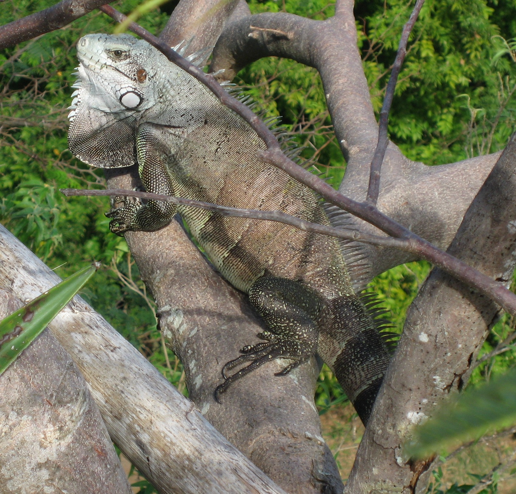https://upload.wikimedia.org/wikipedia/commons/8/84/Iguana_iguana01.jpg