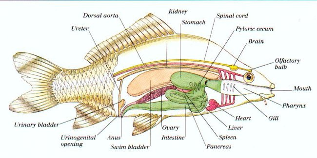 Diagram of a fish's internal anatomy.