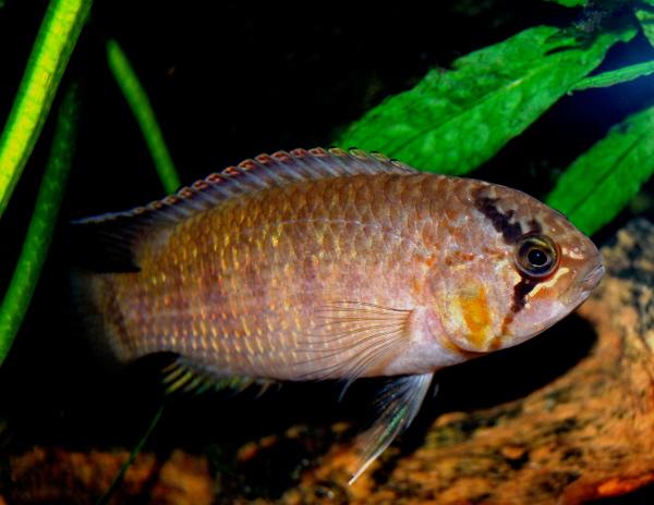 zebra acara zebra acara nannacara adoketa is a species of cichlid from ...