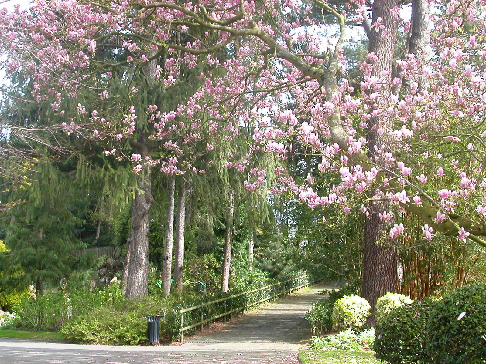 Magnolia trees with pink blooms line a bridge
