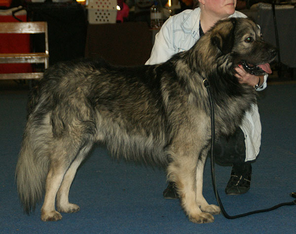 File:Karst Shepherd at a show.jpg