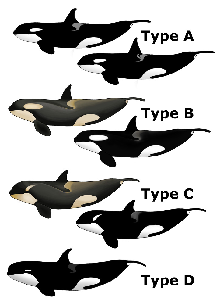 Killer Whale Types.jpg