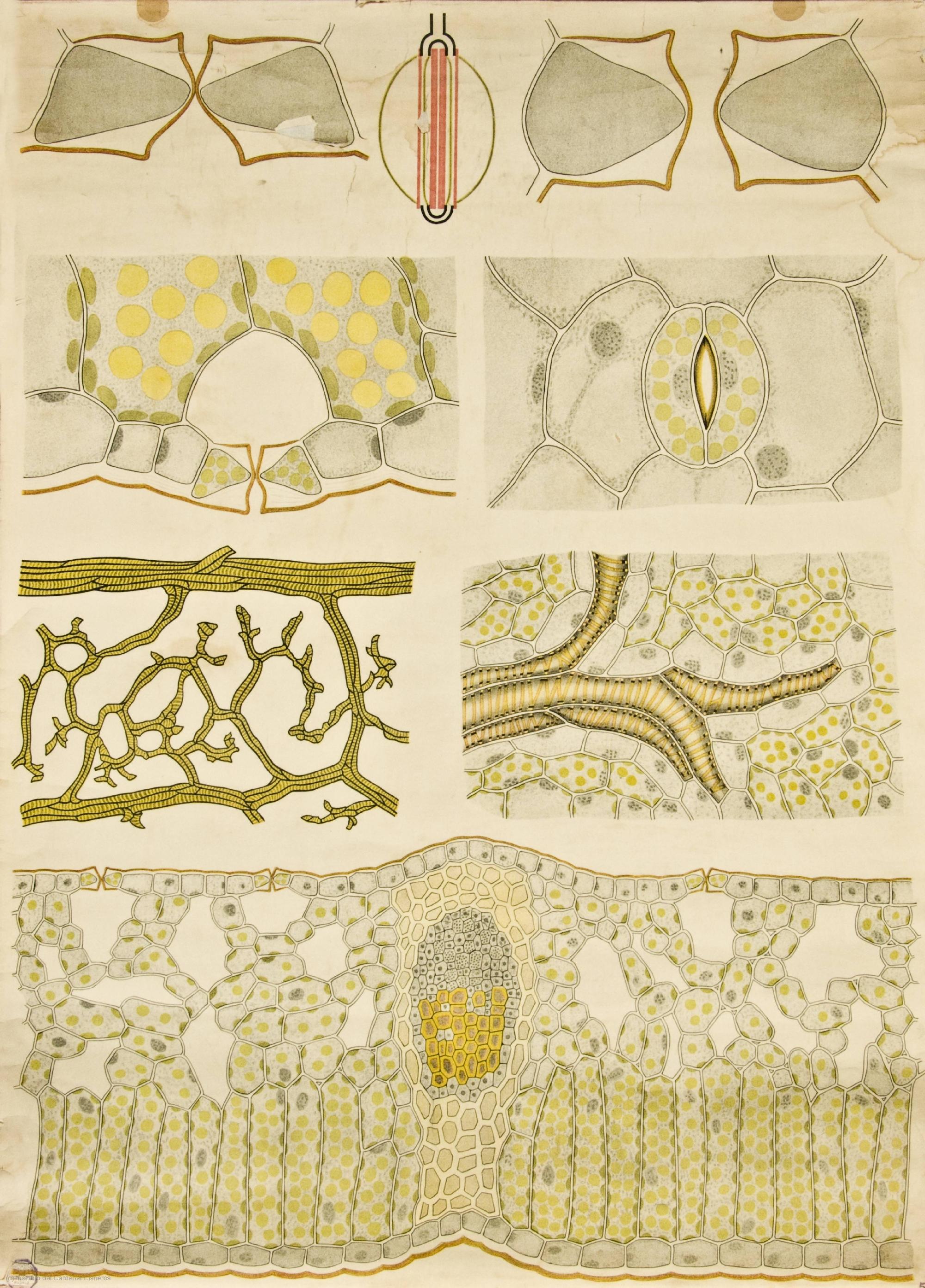File:Leaf growth -- Anatomia Vegetal 1929, pub. by FE Wachsmuth d ...
