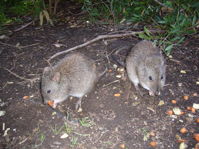 File Marsupials Cleland Wildlife Park South Australia Panoramio