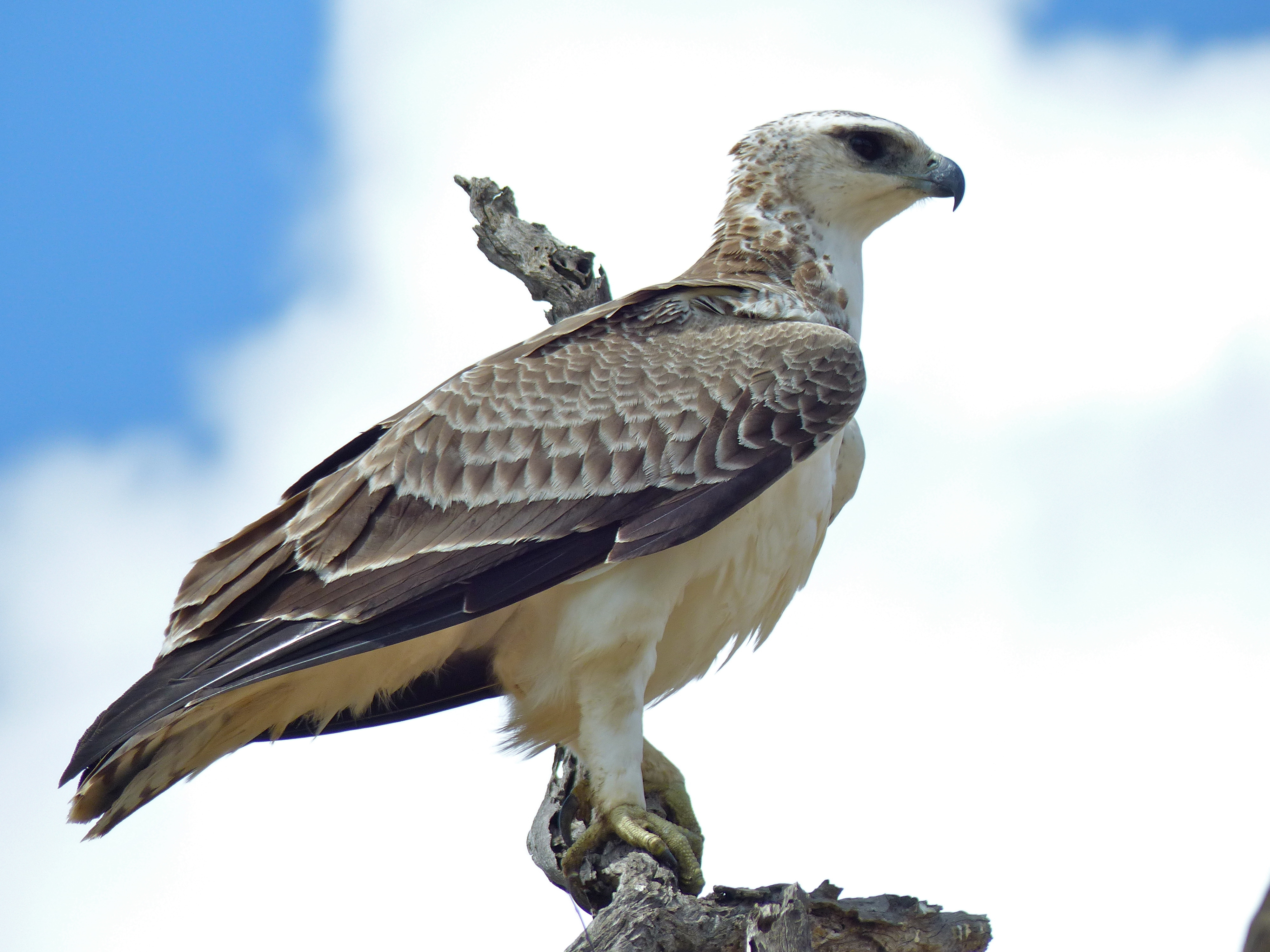 File:Martial eagle (Polemaetus bellicosus) juvenile ...