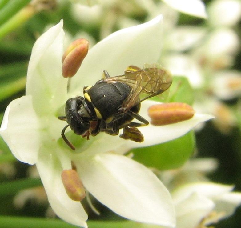 File:Masked bee on Allium.jpg