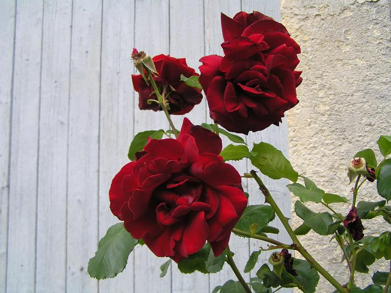 The Modern Climbing Rose Can Be Grown Just About Anywhere