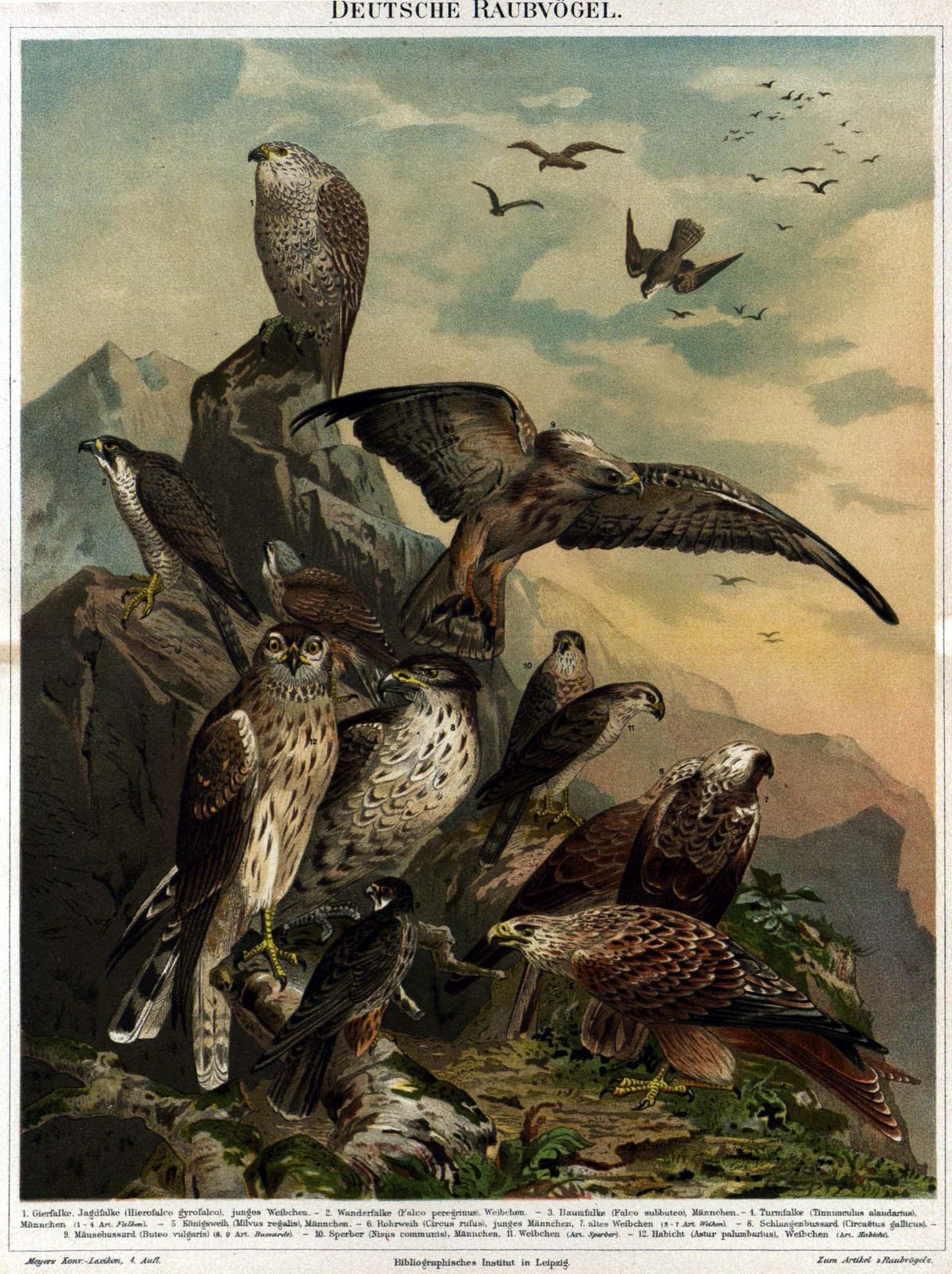 raubvogel � wiktionary