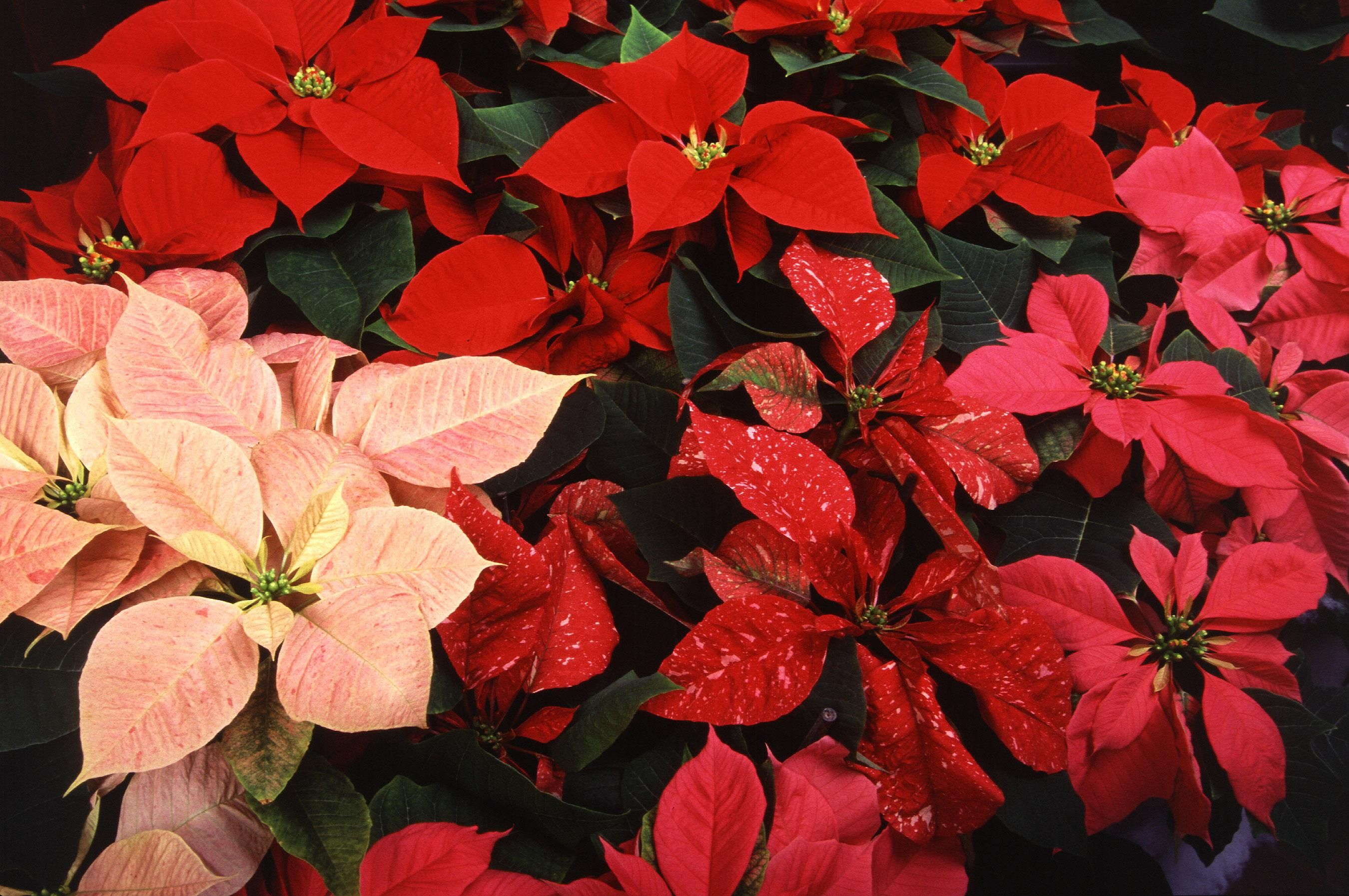 File multi colored poinsettias wikimedia commons for How to make multi colored flowers