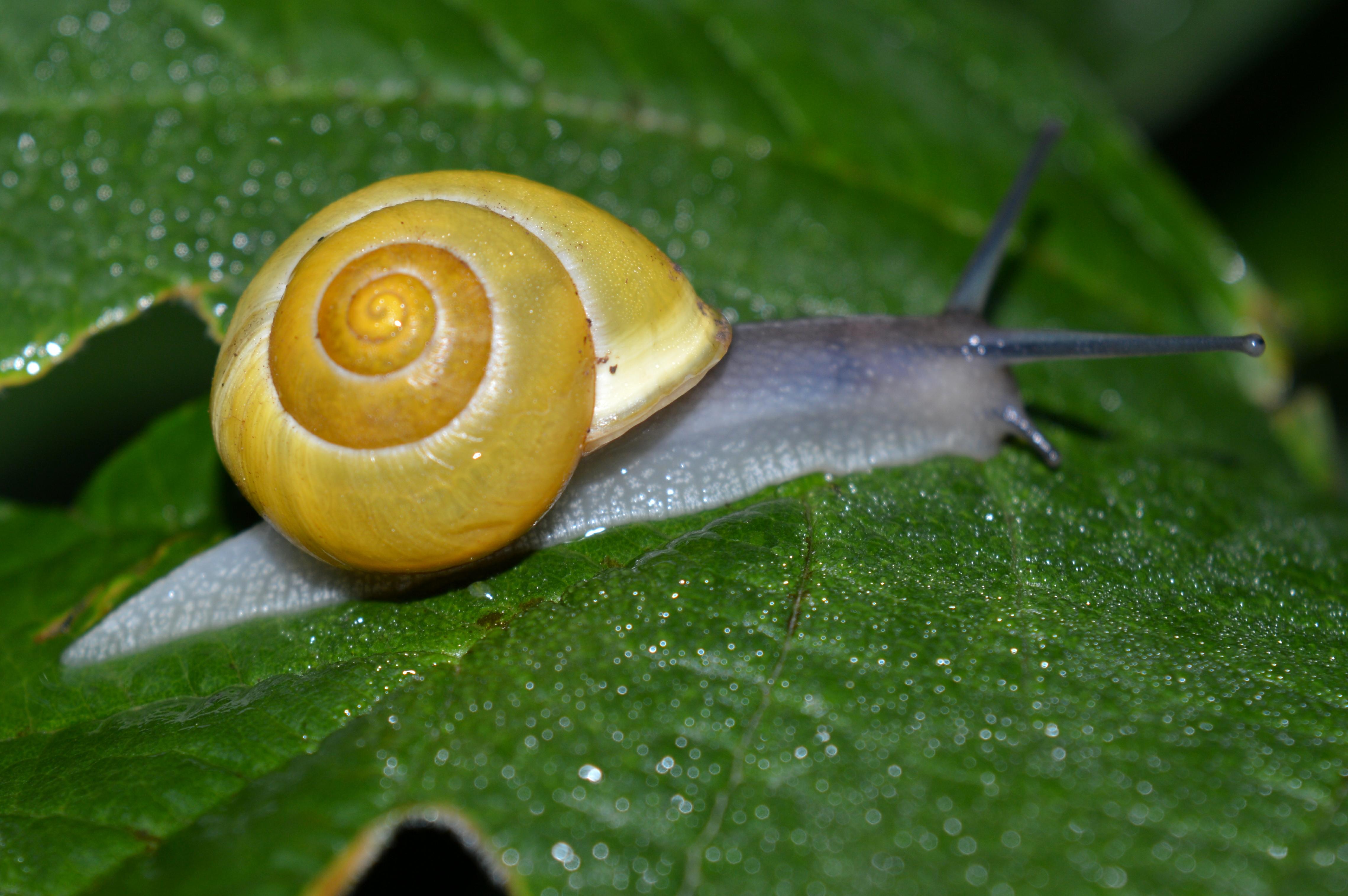 Filensg Am Roten Steine Garten Bänderschnecke 1jpg Wikimedia