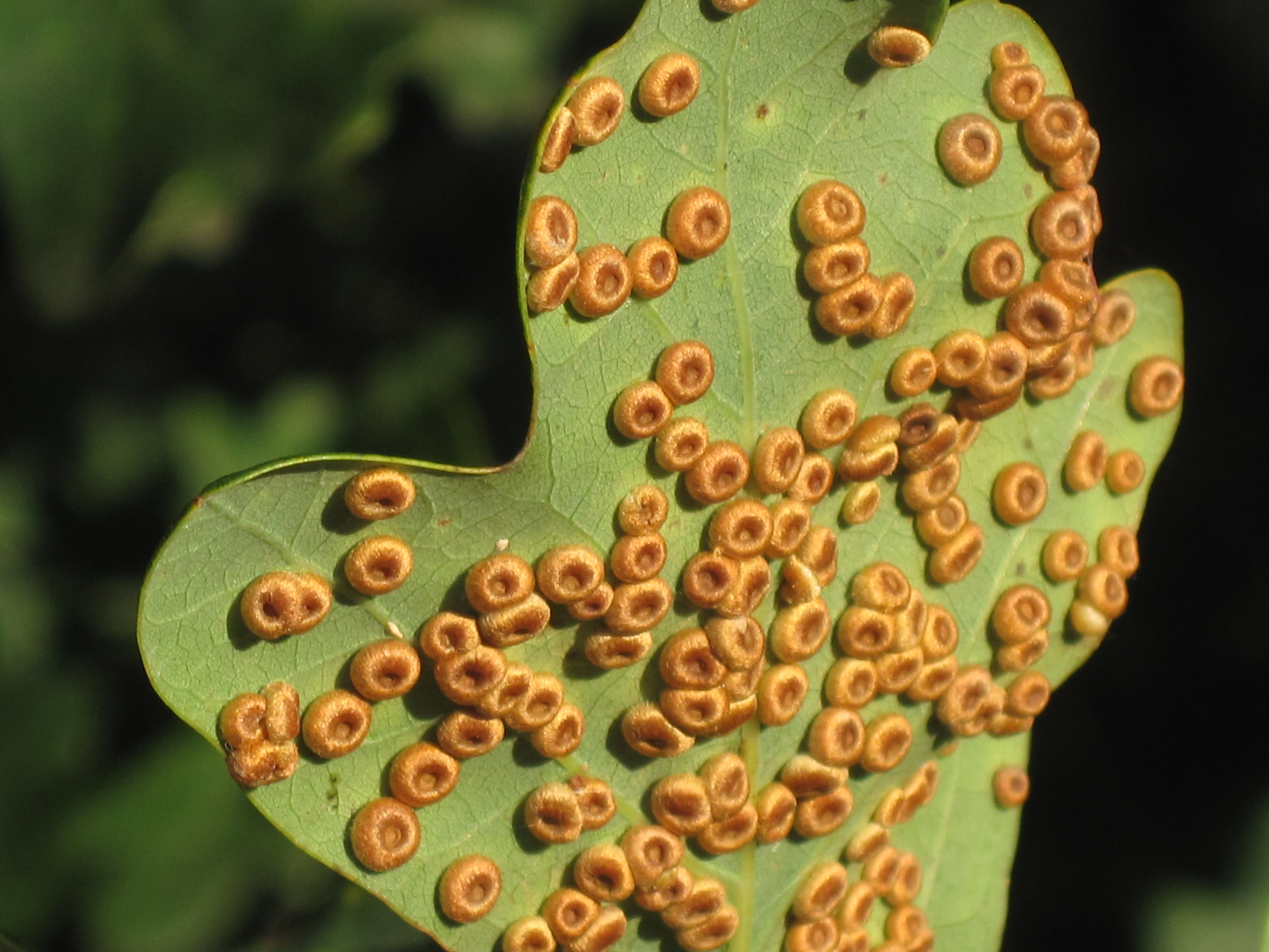 Image result for wasp galls