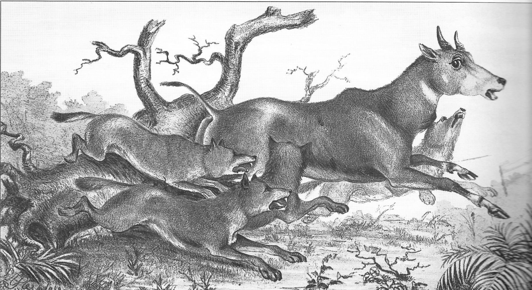 Dholes chasing a nilgai, as drawn by Robert Armitage Sterndale in Denizens of the Jungles, 1886