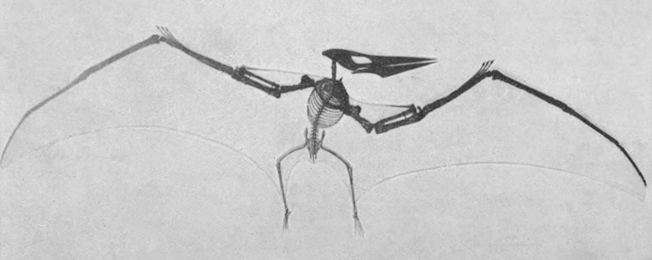 https://upload.wikimedia.org/wikipedia/commons/8/84/Old_Pteranodon_mount.jpg