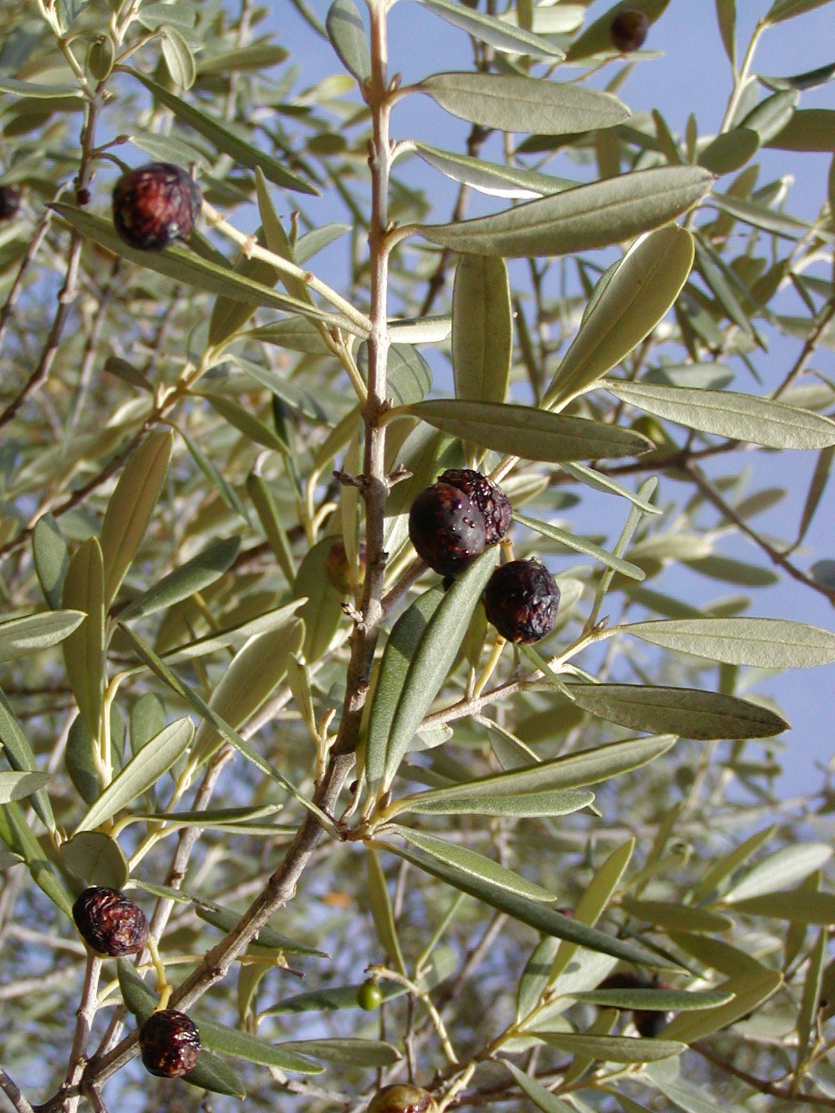 file olea europaea sylvestris fruit jpg wikimedia commons. Black Bedroom Furniture Sets. Home Design Ideas