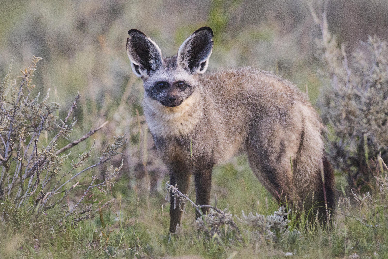 Bat eared fox - photo#5