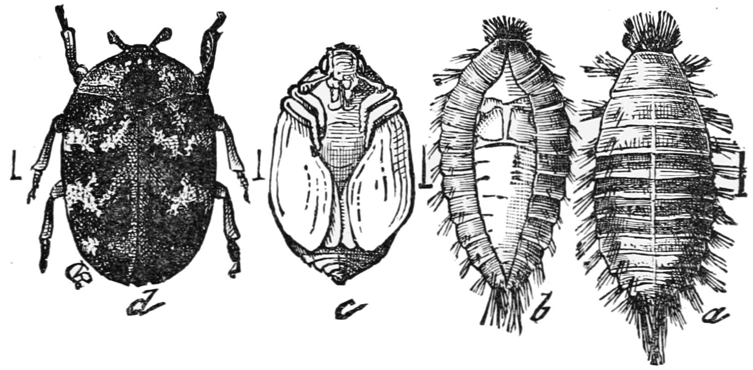 Carpet Beetles Larvae Bite - Viewing Gallery