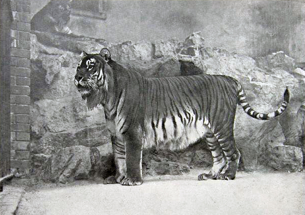 File:Panthera tigris virgata.jpg