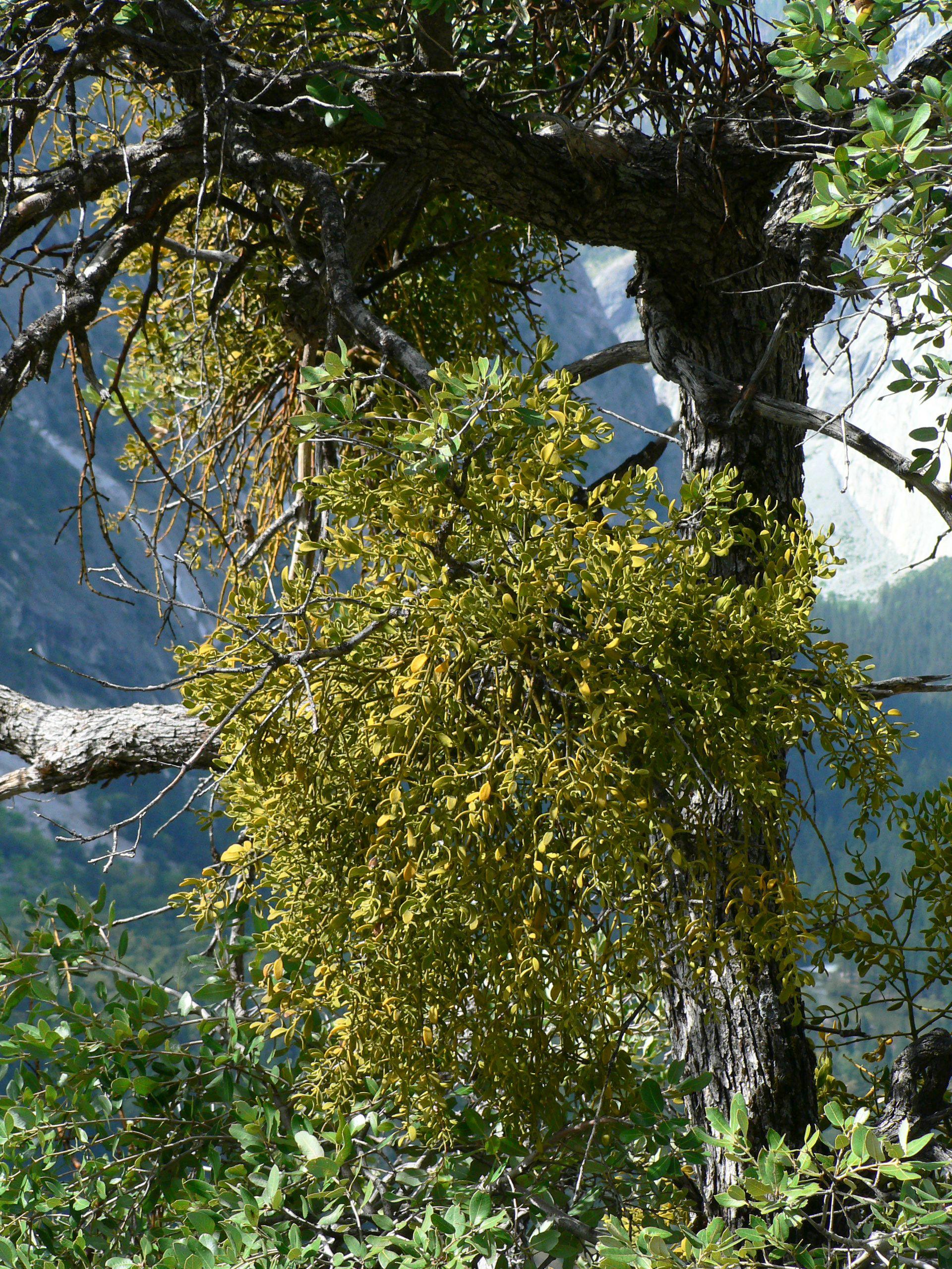 Phoradendron Villosum Wikipedia