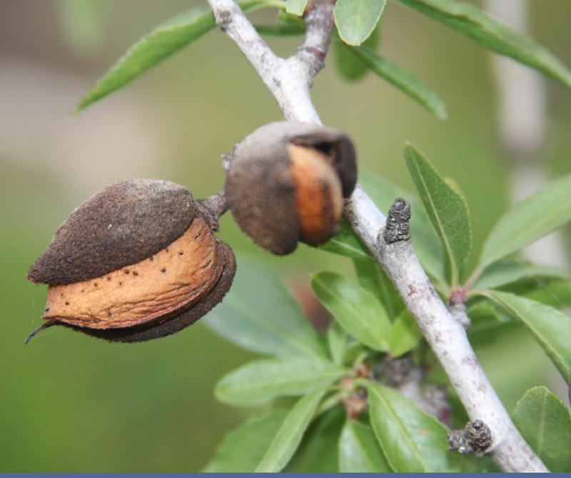 File pikiwiki israel 7025 amond wikimedia commons - Fruit de l amandier ...