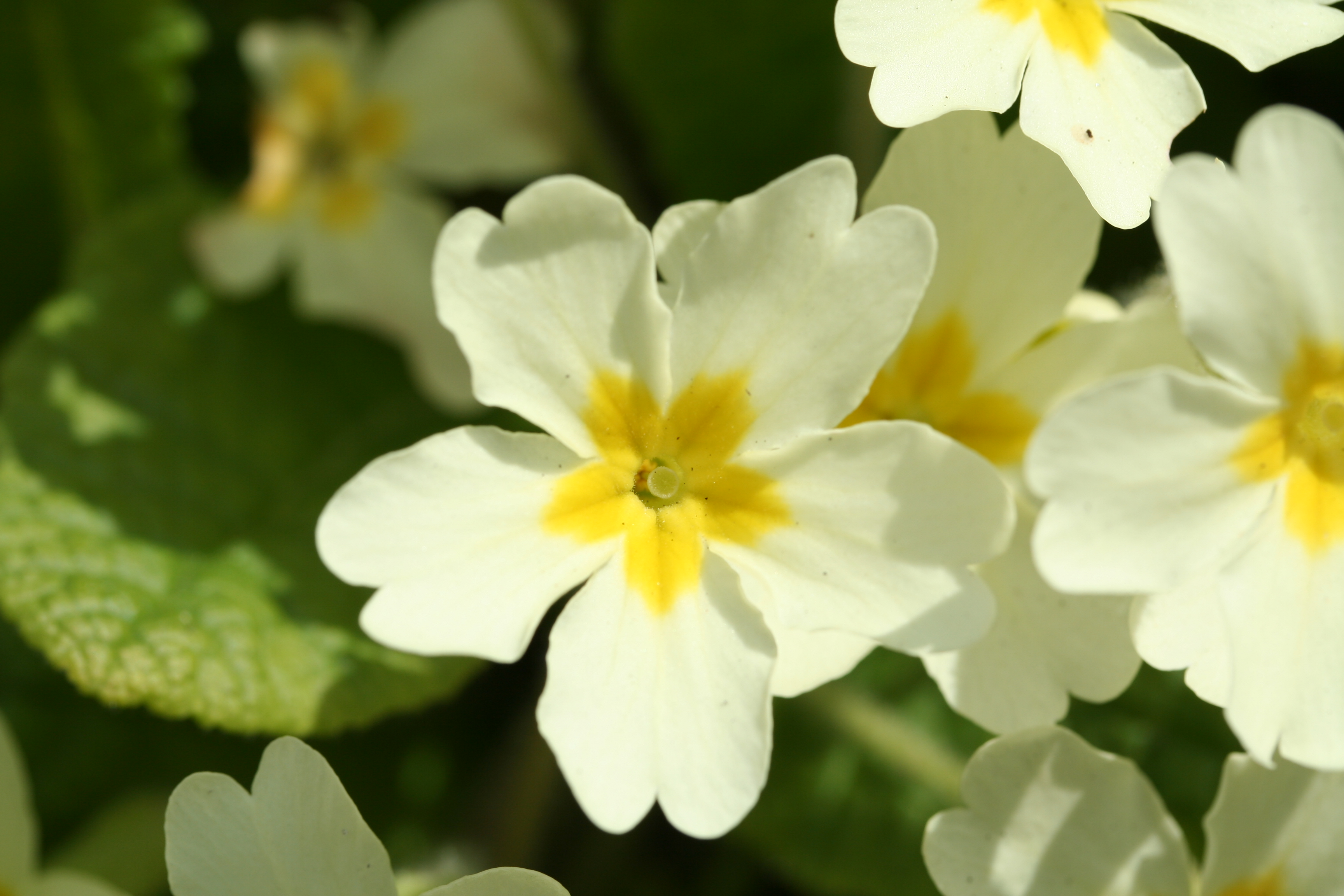 File Primula vulgaris 02 xndr Wikimedia mons