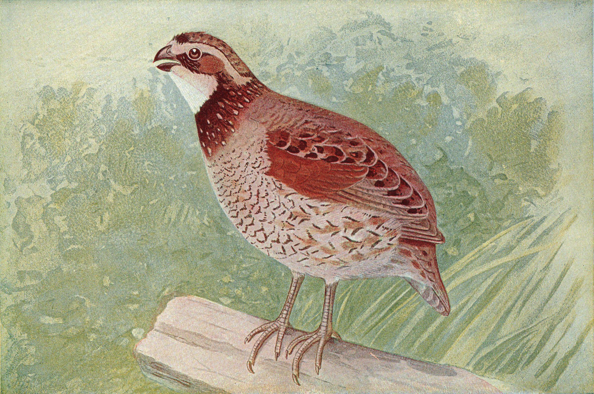 http://upload.wikimedia.org/wikipedia/commons/8/84/Quail.jpg
