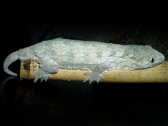 Rhacodactylus Geckos Rhacodactylus_leachianus