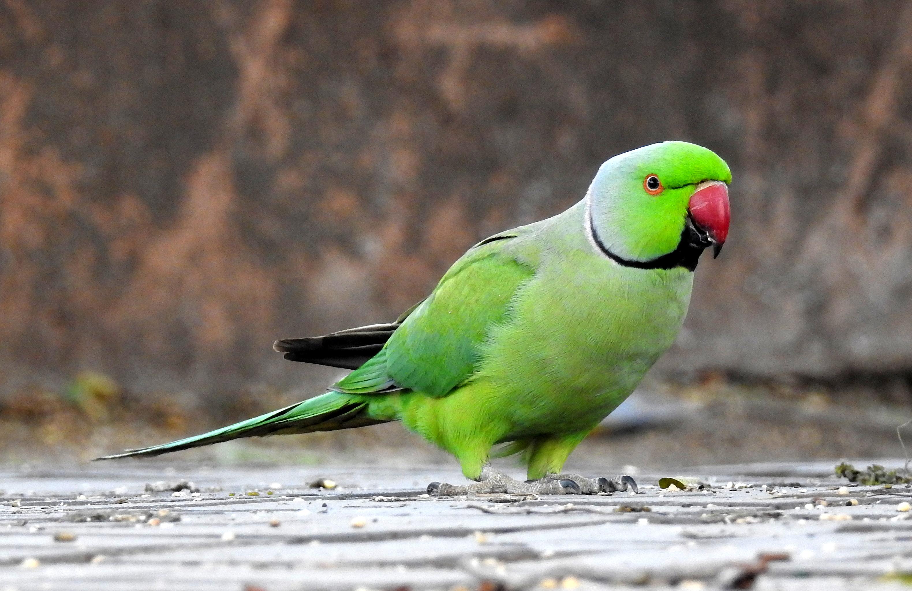 Rose-ringed parakeet - Wikipedia