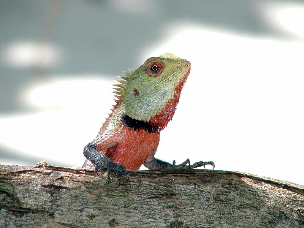 Bunglon Reptil Wikipedia Bahasa Indonesia Ensiklopedia Bebas