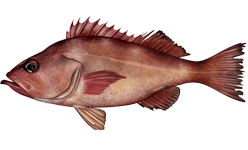 species of fish in the rockfish family