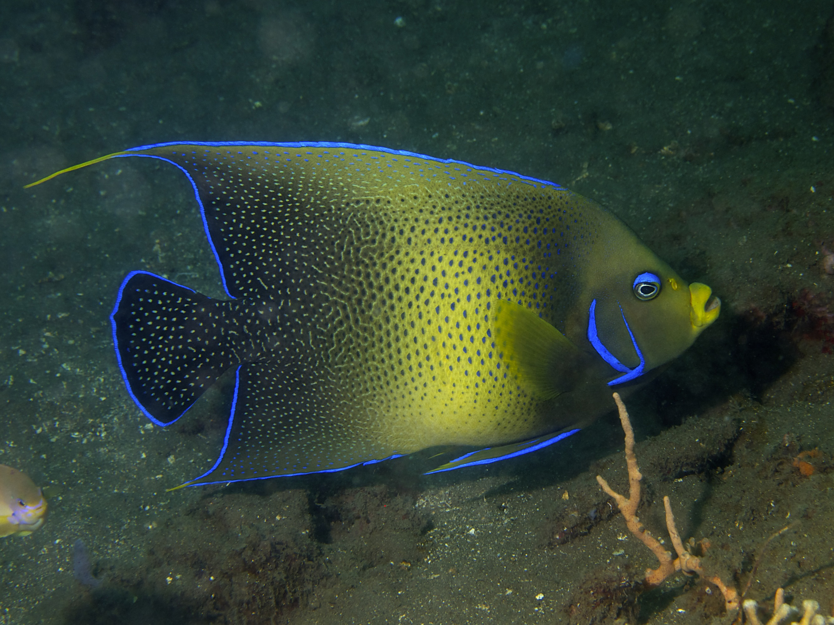 Description Semicircle angelfish (Pomacanthus semicirculatus).jpg