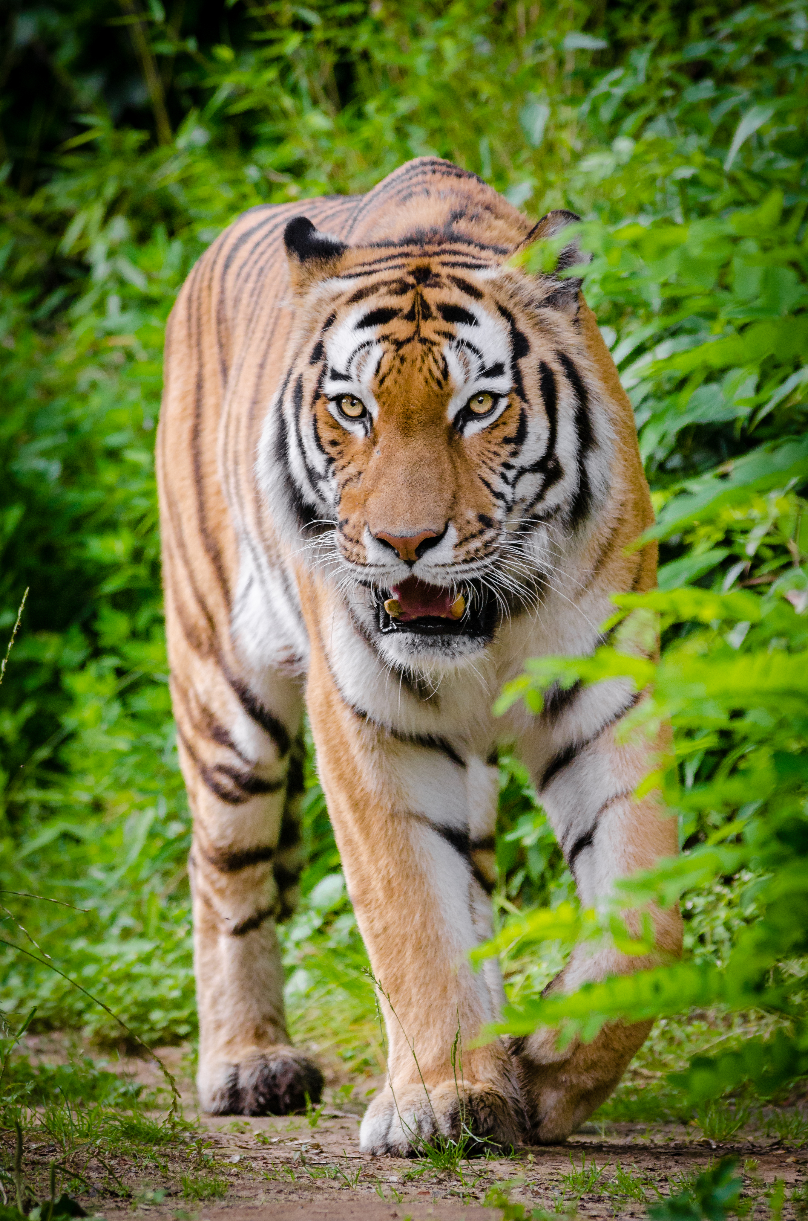 Zoo Duisburg Tiger