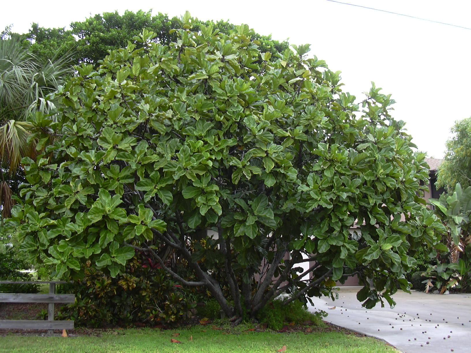 Ficus figueira goma el stica figos rvore da goma el stica for Arboles que dan sombra para jardin