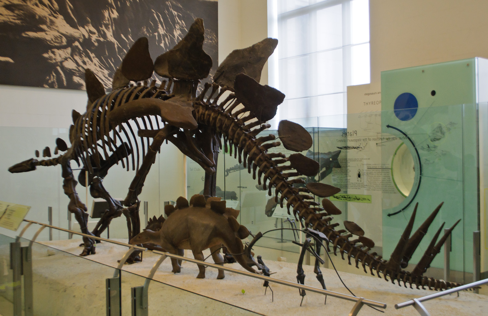 Stegosaurus Stenops Natural History Museum