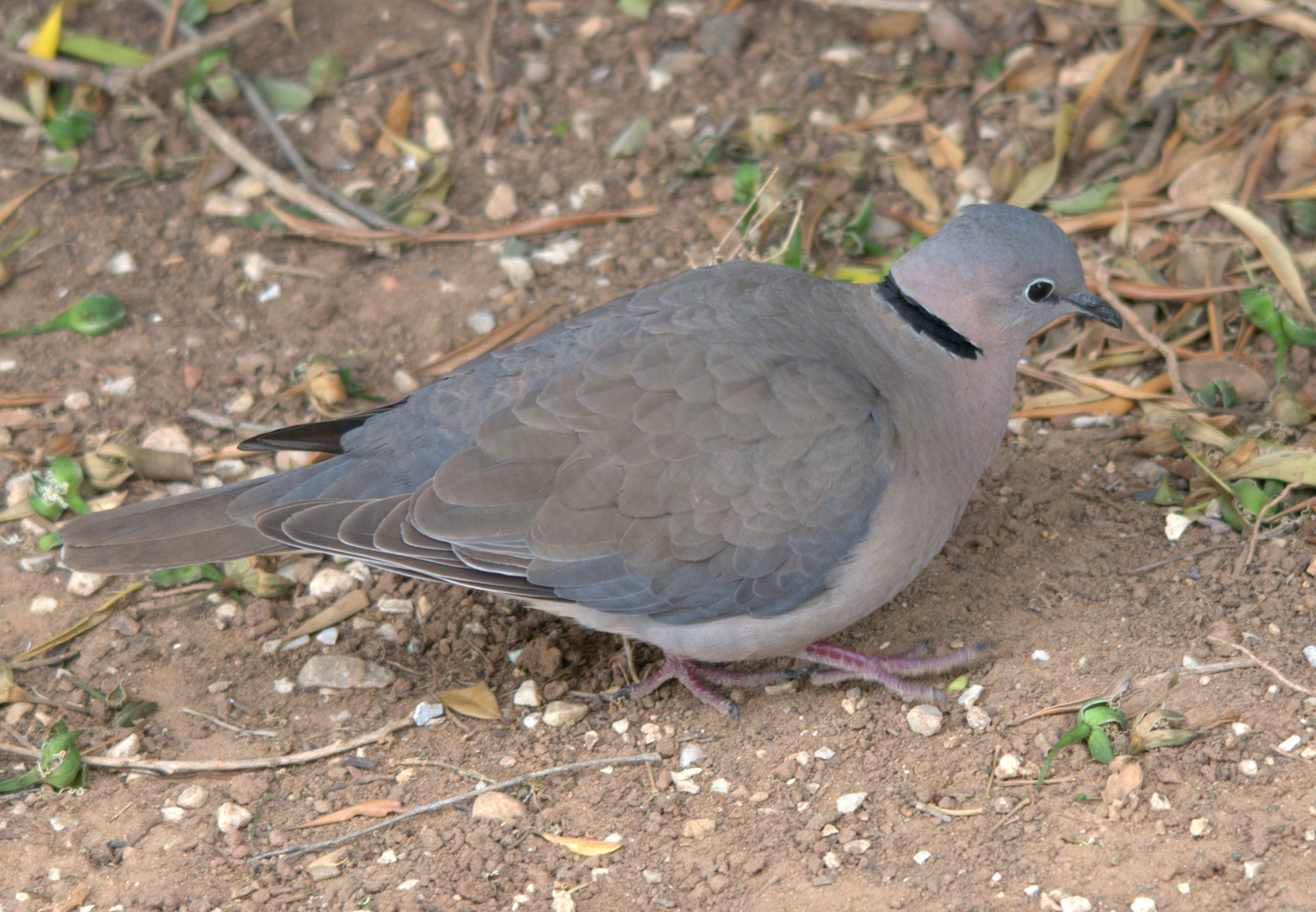 African Collared Dove Vs Eurasian Collared Dove