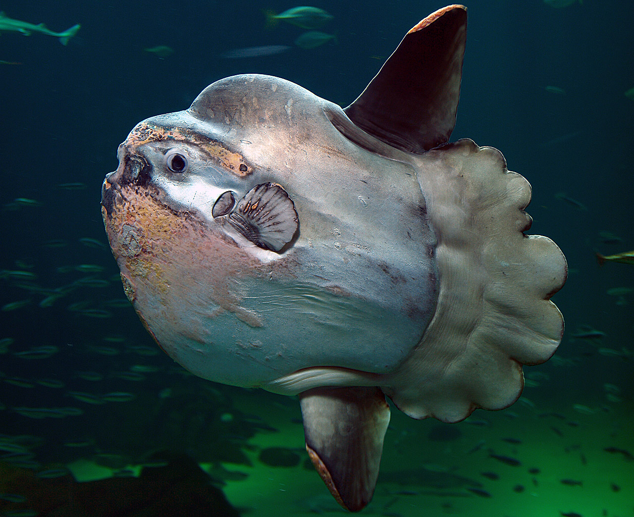 Meet The Magnificently Weird Mola Mola Cool Green Science